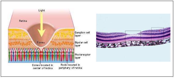 Figure 4 coupe transversale de la r tine au niveau de la macula - Couche du globe oculaire ...